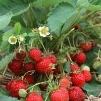 批发草莓苗种苗|全明星草莓苗|甜查理草莓苗|四季草莓苗基地