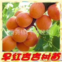 供应早红杏树杏苗,果树,果苗 果树 嫁接果苗果树 果苗果树桃苗