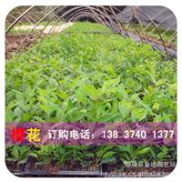 【基地直销】20公分高一年生优质速生樱花小苗