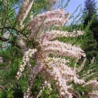 金莎花卉常年供应怪柳/3-20公分垂柳/直升柳/柳树小苗