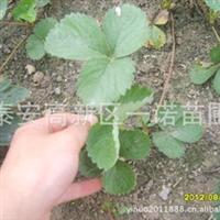 山西草莓苗 陕西草莓苗 西藏草莓苗 云南草莓苗 新疆草莓苗 种苗