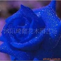 荷兰进口蓝色妖姬玫瑰苗 玫瑰种子 蓝玫瑰 无货举报