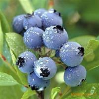 蓝莓树苗 蓝莓苗盆栽 特价2年苗25元 另有3 -10年苗出售