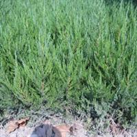 基地低价批发供应绿化苗木 龙柏