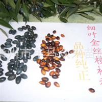 销售金丝楠木树苗 苗木种子 最细叶金丝桢楠树 苗木 种子 种苗