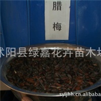 批发新采种子腊梅种子 腊梅树种子 腊梅花种子