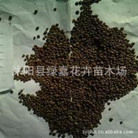 批发新采林木种子 凤仙花种子  保质保量
