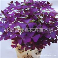 紫花幸运草 紫蝴蝶 三叶草 紫叶酢浆草 紫叶渣浆草 盆栽花卉