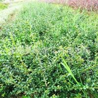 低价促销--龟甲冬青小苗 龟甲冬青苗 30公分高 庭院绿化苗