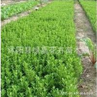 批发绿化苗木 瓜子黄杨 小叶黄杨小苗 工程苗 庭院篱笆墙植物