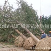 全国苗木中心专供  银杏苗木  21公分公孙树 树形好 苗木
