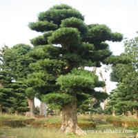 【促销苗木】供应树形优美造型罗汉松、极品造型罗汉松