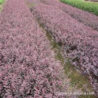 供应一年生红花继木扦插小苗、红花继木小苗
