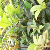 丹桂苗 扦插苗 1年生 20厘米以上  咸宁桂花拥军苗圃 大量供批发