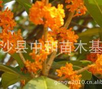 供应2012年畅销绿化苗木红花丹桂 丹桂小苗 价格实在 货源充足