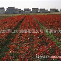 50万盆栽苗,30万地栽苗,植株健壮 供应绿化深夜草莓视频app下载 红叶石楠