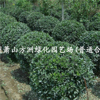 ~供应优质 冬青,金边冬青 大叶黄杨 各种绿化苗木 高质量苗木