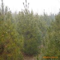 大量供应5.5白皮松绿化,苗木
