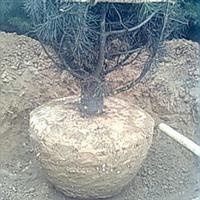 供应4.5米白皮松,苗木