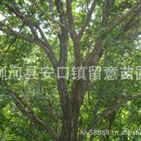 低价供应柞树、蒙古栎8--30cm绿化大树