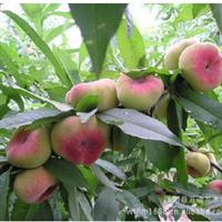 批发桃树果树苗 成活率高 优质品种桃树 蟠桃果树苗