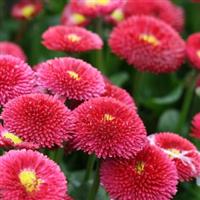 雏菊 种子 春菊 马兰头花  80元1公斤 头花 进口种子 马头兰