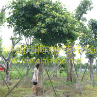 黄葛树,40公分黄葛树,黄葛树图片,黄葛树价格,陈彬花木场