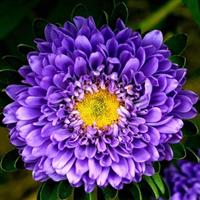 翠菊 江西腊 七月菊 175元1公斤 当年新种