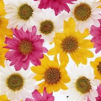 非洲菊种子 种子 245元1公斤 当年新种 太阳花 猩猩菊 日头花