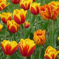 郁金香 种苗 种子 种 绿化种子  进口种球 荷兰进口风信子种球- -