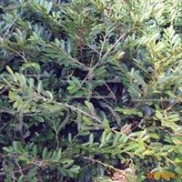 供应1.5-2.5m高蚊母树形优.