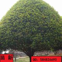 新龙苗圃自有基地直销优质桂花树