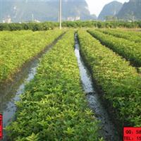 新龙苗圃自产自销质优价廉8月桂花树树苗