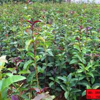 新龙苗圃自有基地特价直销优质扦插桂花小苗