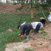 麦冬苗生产基地