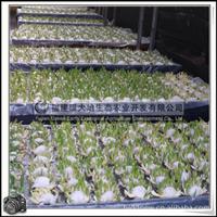 水仙花|水仙花球|园林观赏植物|漳州水仙花