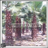 华盛顿棕榈 园林绿化苗木 棕榈科大乔木