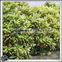 洒金变叶木|常绿灌木|可做插叶材料|盆栽