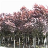 长期供应3-15公分红叶李(紫叶李)价格优惠欢迎采购