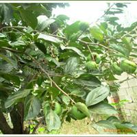 现货供应大量柿子树苗  成活率高