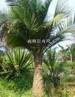 大量供应园林苗木国王椰子