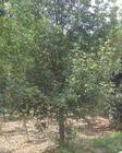 大量供应园林苗木九里香