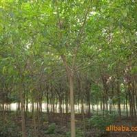 供应香樟栾树重阳木等绿化苗木