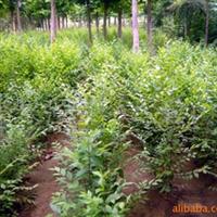 供应榆树【规格全1-20公分大小苗都有】