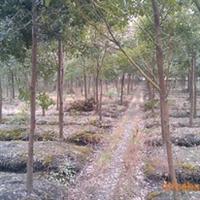 供应香樟杜英垂柳无患子等绿化苗木