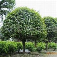 桂花之乡常年低价供应精品桂花树,量大从优