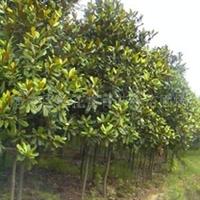 常青花卉苗圃供应乔木-20公分精品广玉兰,价低