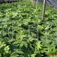 批量供应优质各种灌木、八角金盘(图)