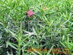 批量供应优质夹竹桃、灌木