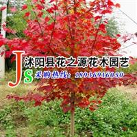 批发供应 进口加拿大红枫种子 红花槭种子 一级树种